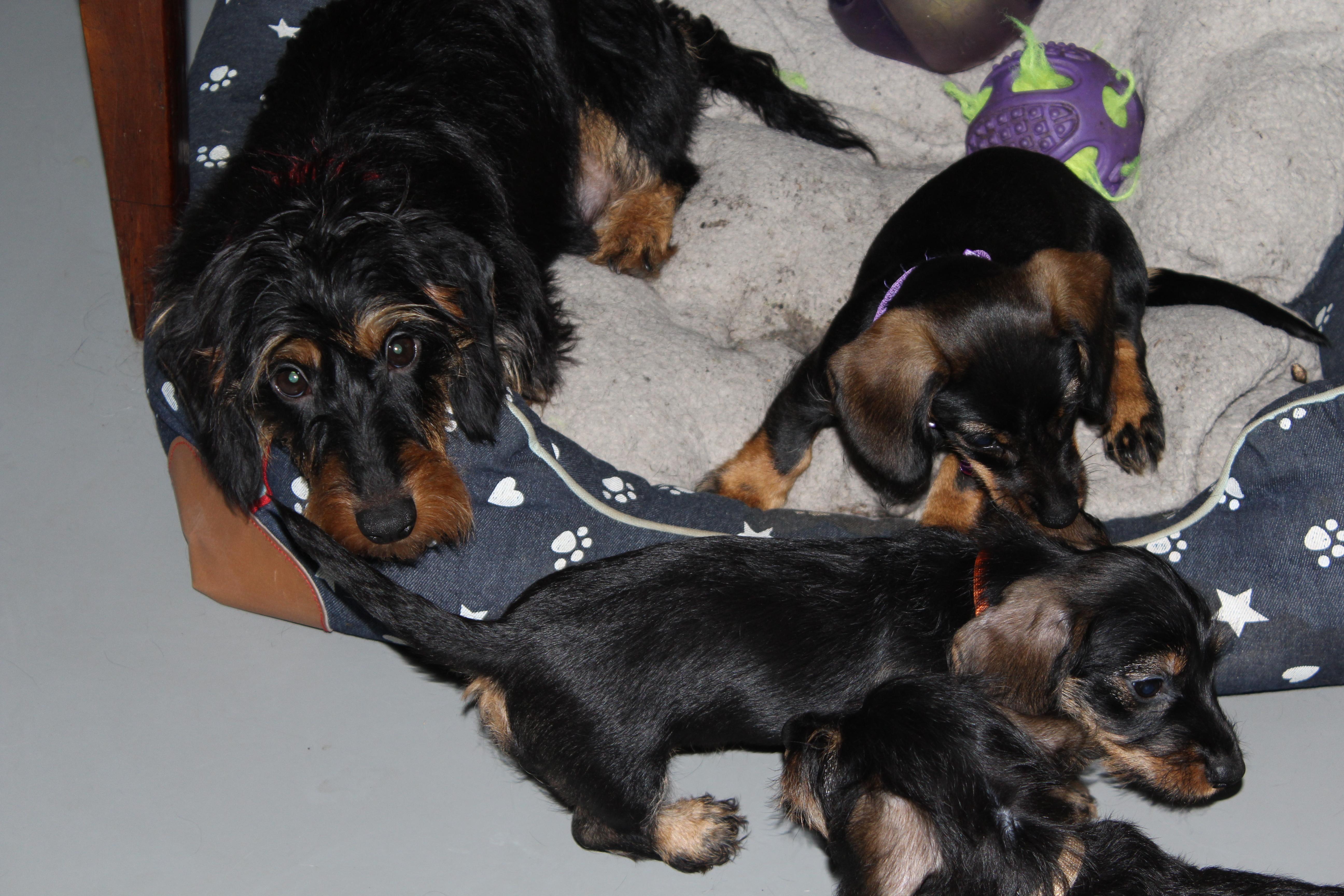Pups van Elsa inmiddels 6 weken oud.