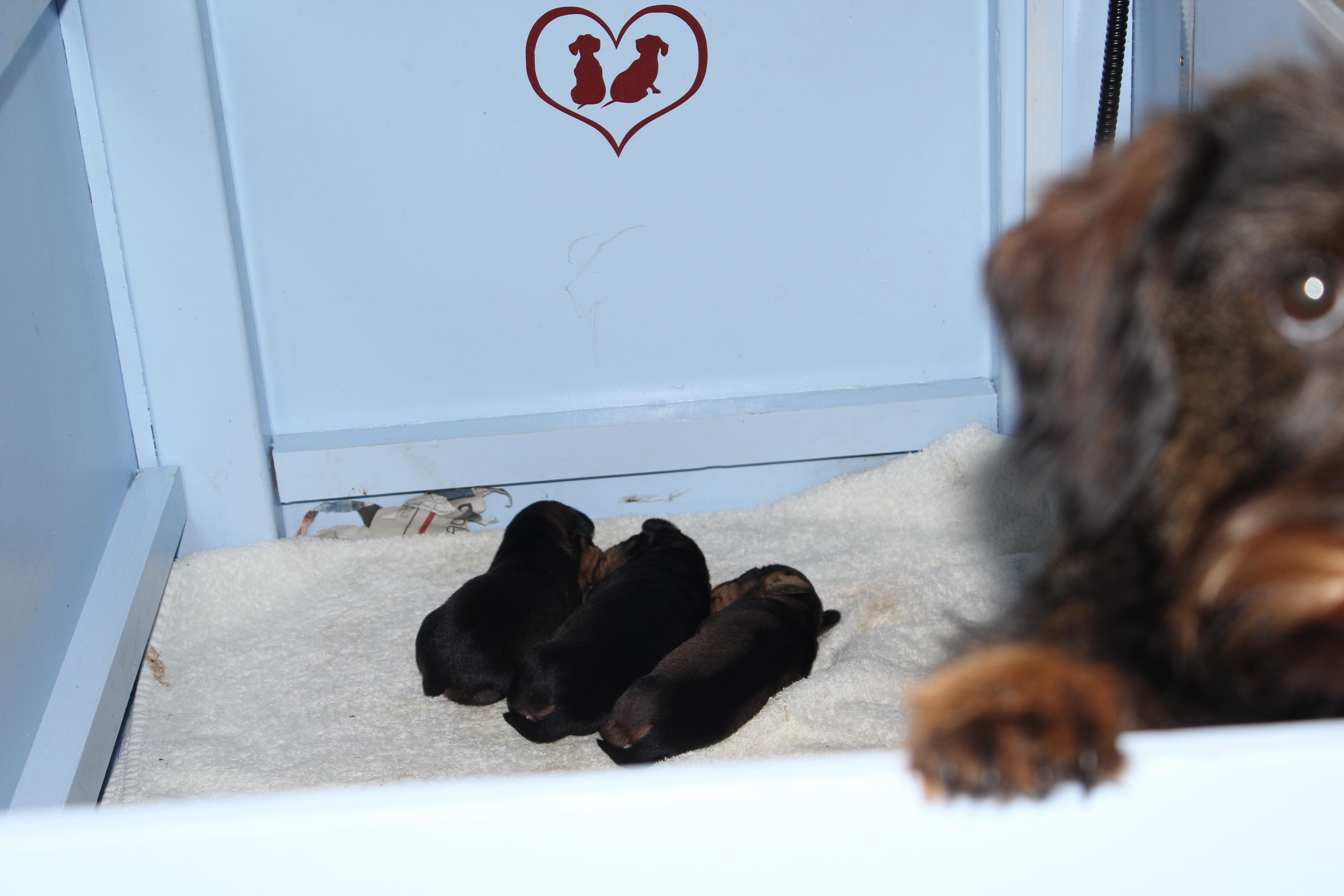 Pups Gentle twee weken oud.